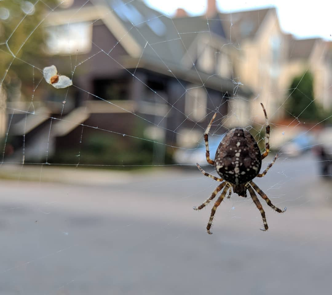 an orb weaver with a seed stuck in its web