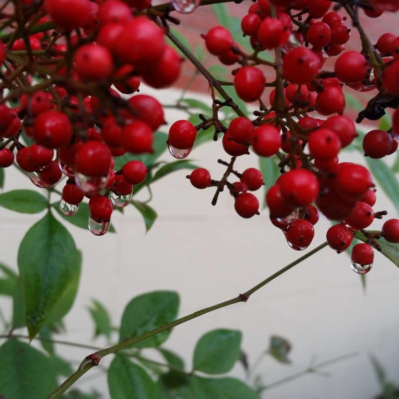 Red berries dripping with water