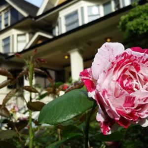 A rose with houses in the background