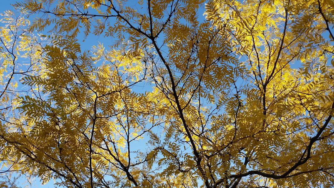 yellow fall leaves and blue sky