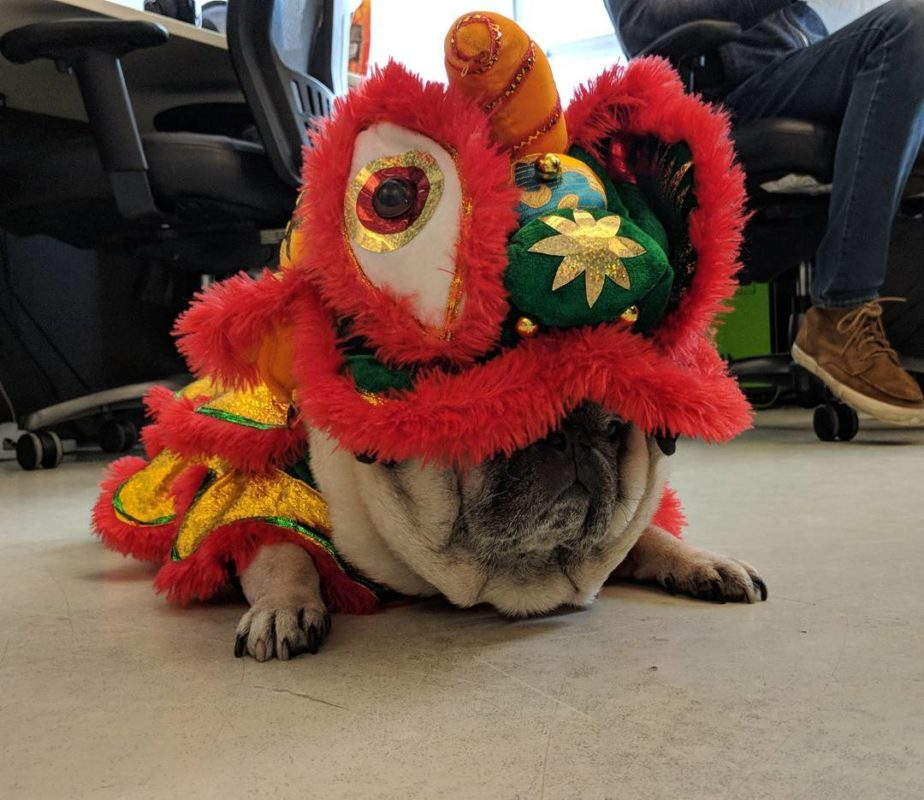 A pug in a lion costume