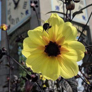 Bumblebee landing in a flower