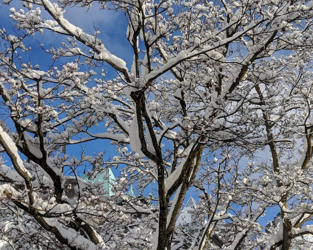 snow-clad branches and blue sky