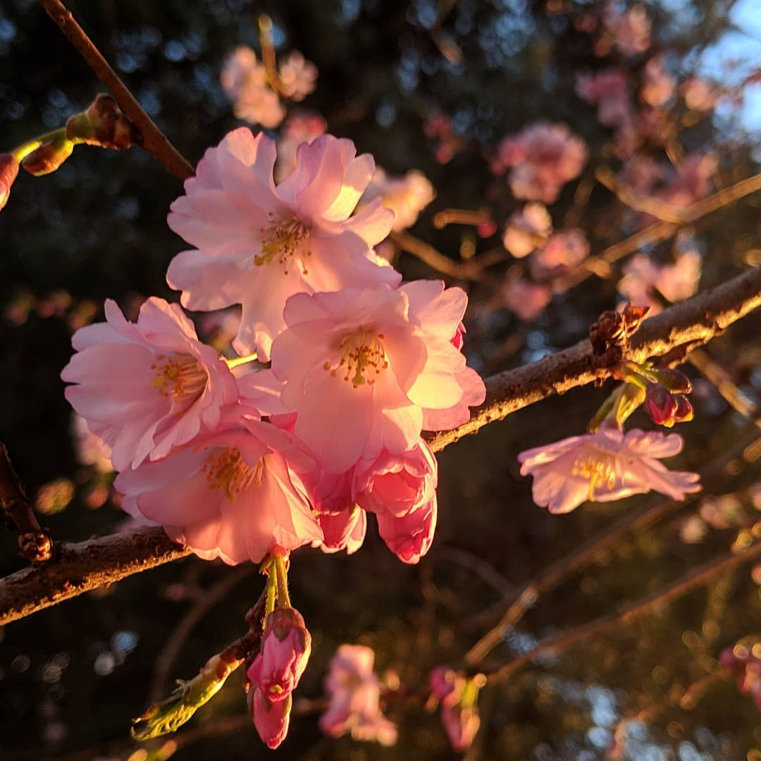 pink blossoms in the sunset
