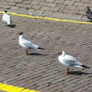 black-headed seagulls