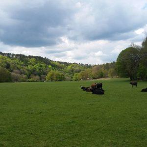 Some aurochs sitting in the green grass
