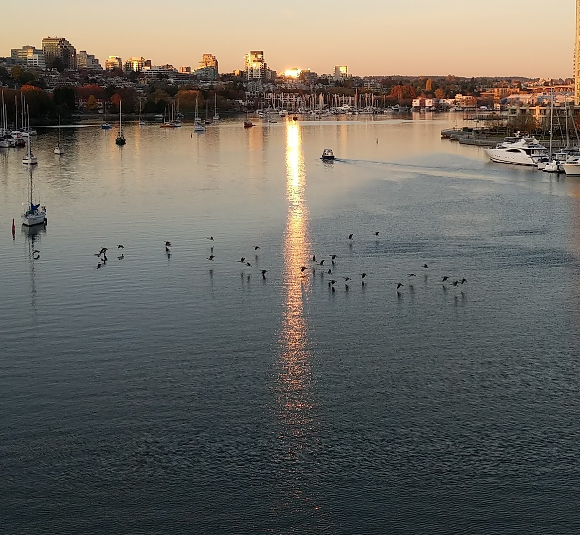 Geese flying low over False Creek