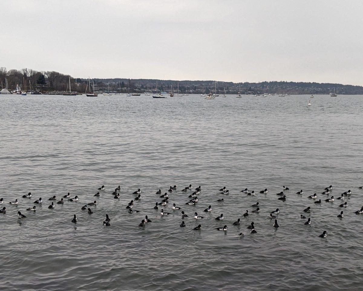 ducks off Sunset Beach