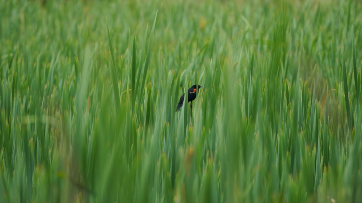 Red-winged blackbird in high grass
