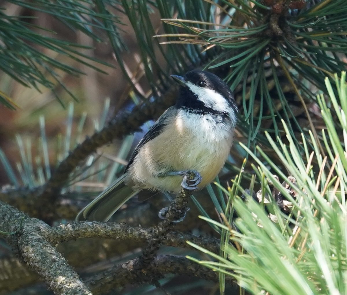 Chickadee in the shade