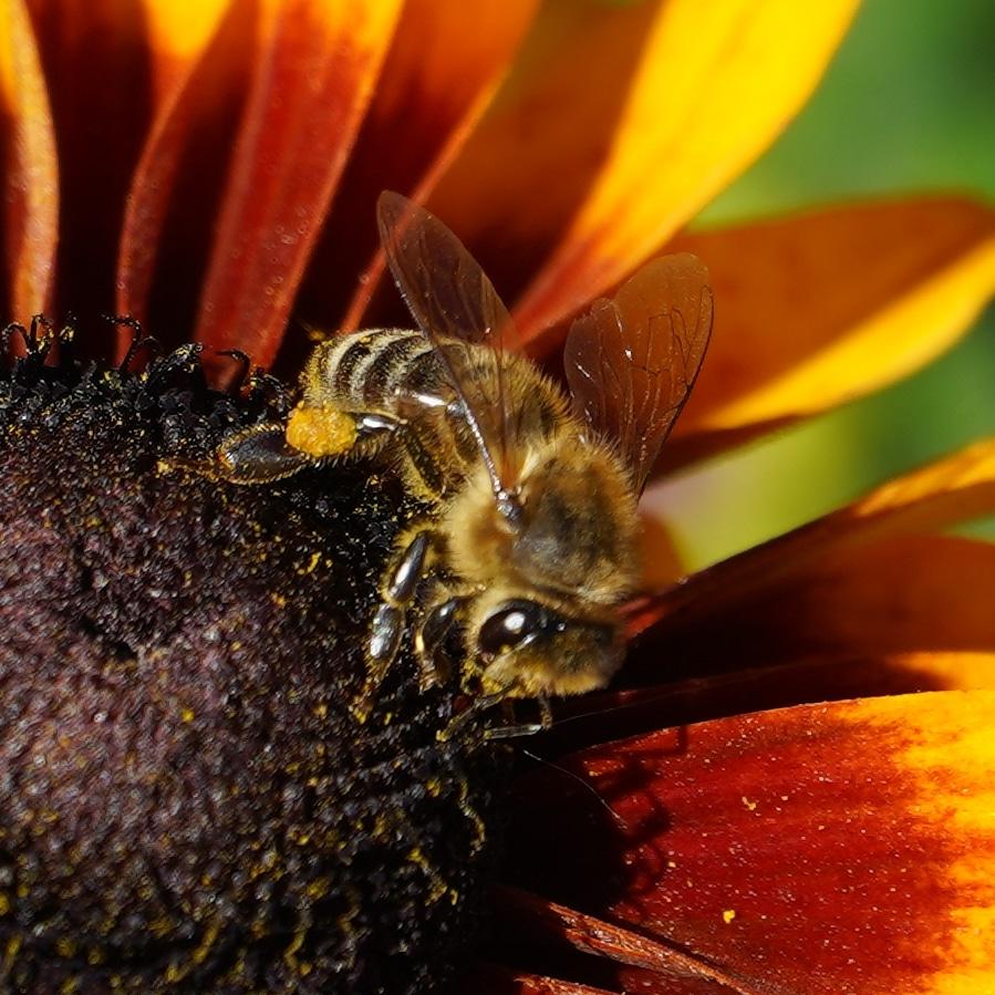 Bee in orange flower