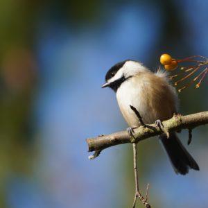 Chickadee and berries
