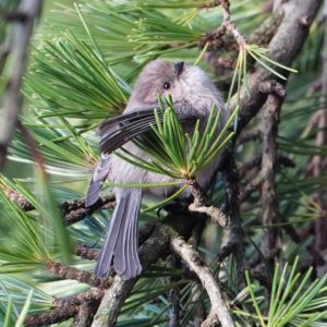 Bushtit in pine tree