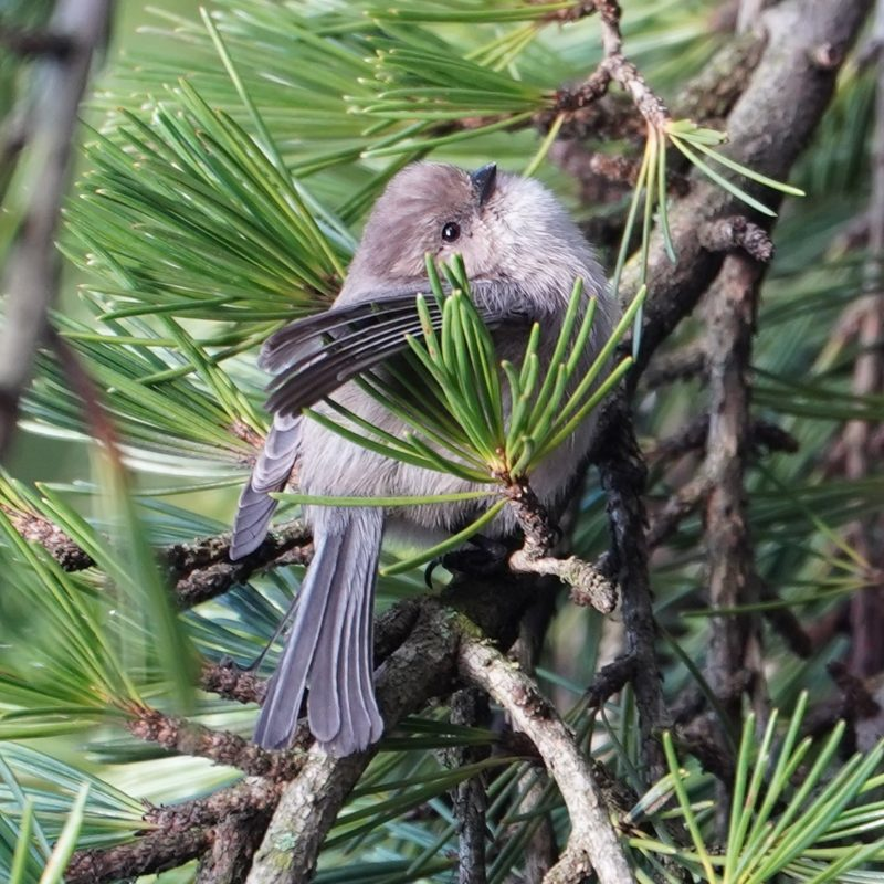 Bushtit in pine tree