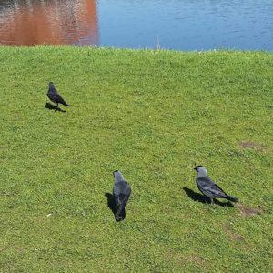 Jackdaws, dark greyish corvids