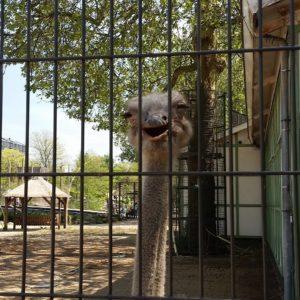 Ostrich behind bars