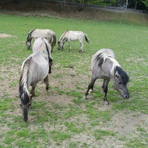 Tarpans, slender grey and black horses