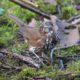 Fox sparrow #2