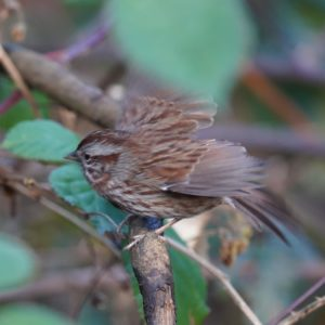 Song sparrow taking off