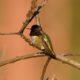 A pretty Anna's hummingbird