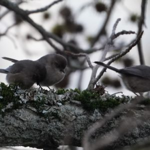 three bushtits