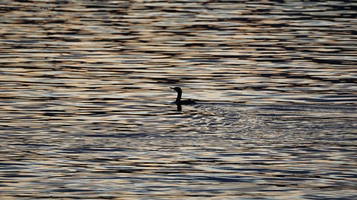 Cormorant at sunset