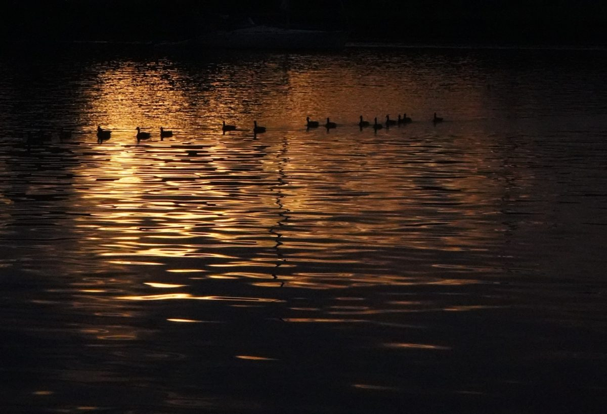 Geese and gold