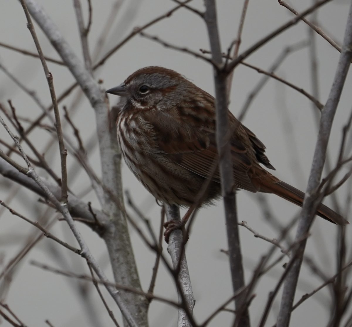 Song sparrow in branches