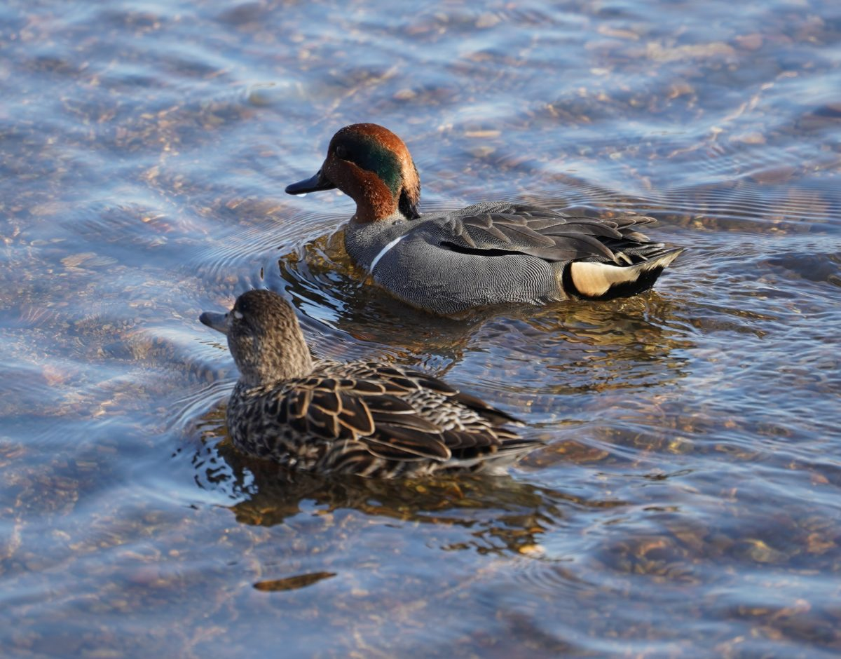 Green-winged teal couple