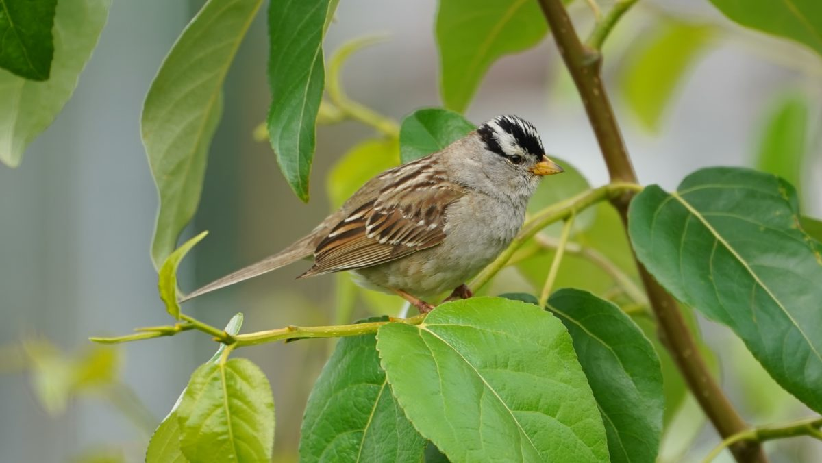 White-crowned sparrow on green leaves