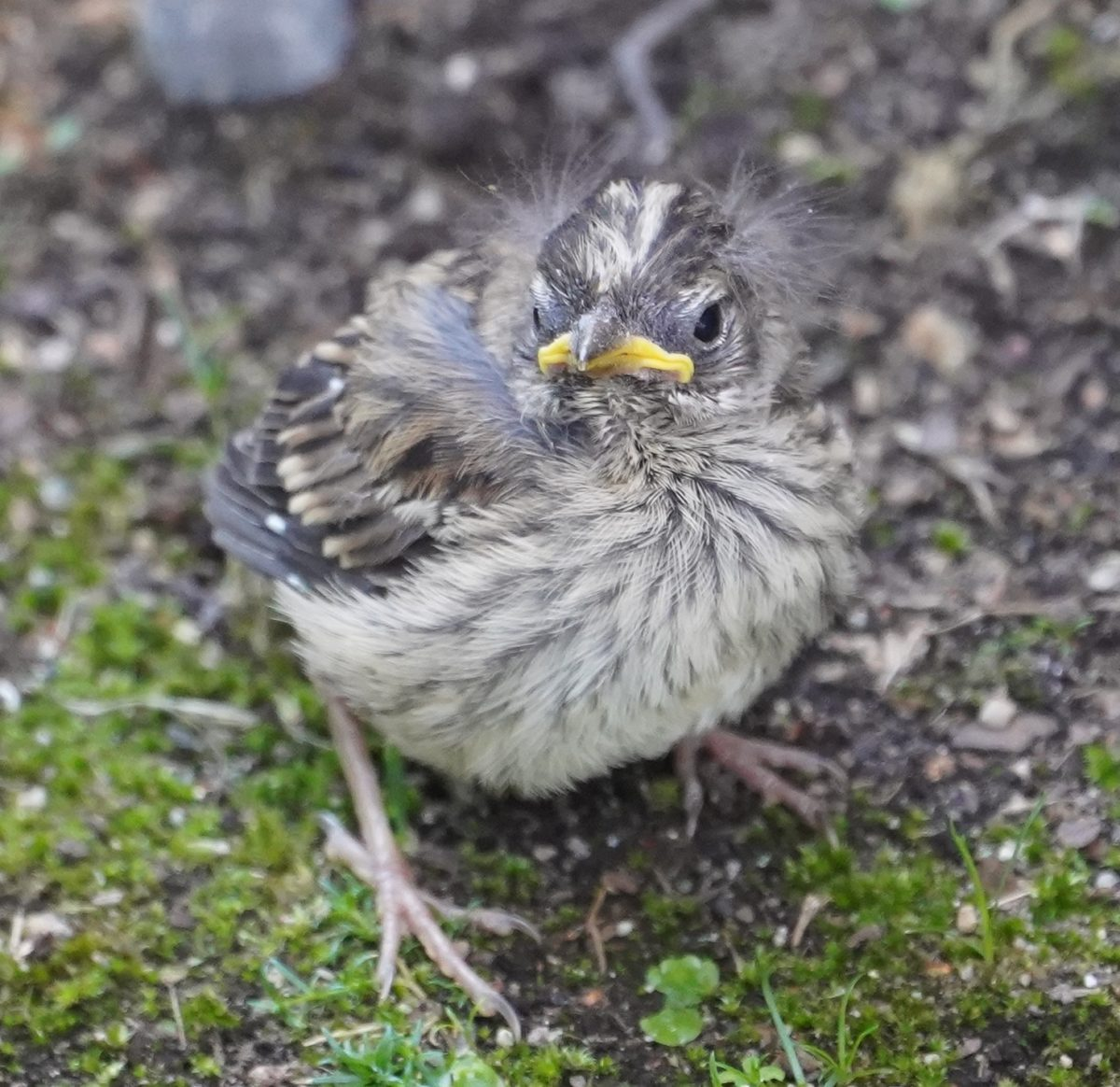Scraggly white-crown fledgling