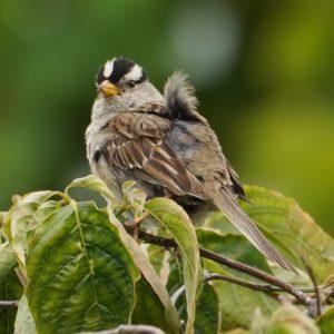 Unkempt white-crown sparrow