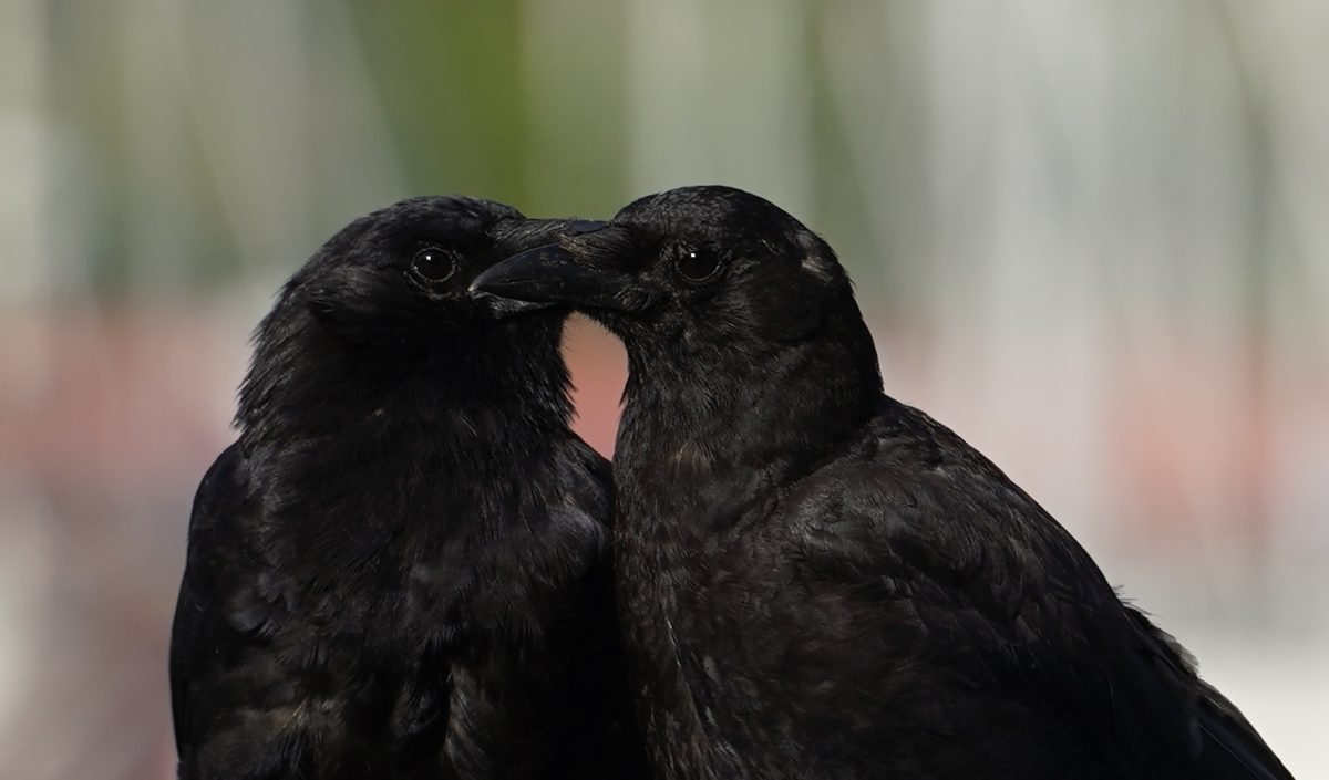 Two crows touching beaks
