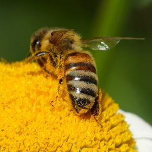 Honeybee on a daisy