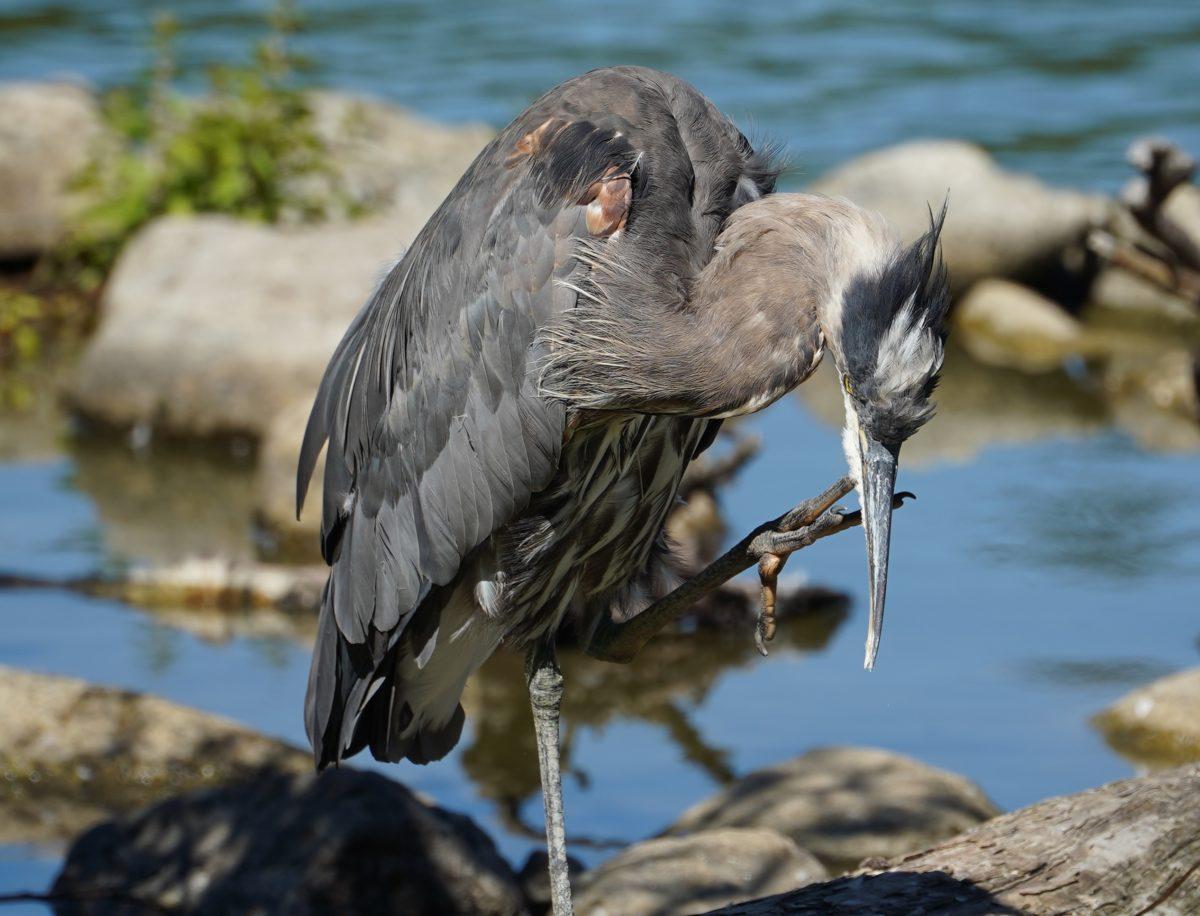 Heron scratching its chin