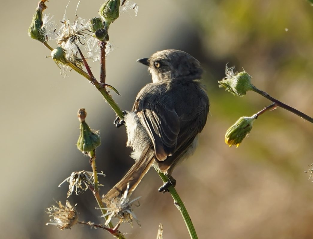 Bushtit and afternoon sun