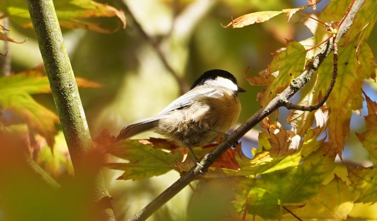 chickadee in fall foliage