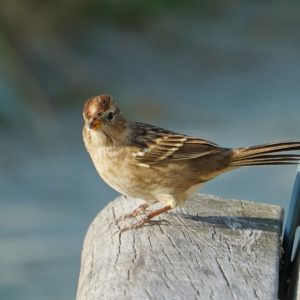 white-crowned sparrow on a bench
