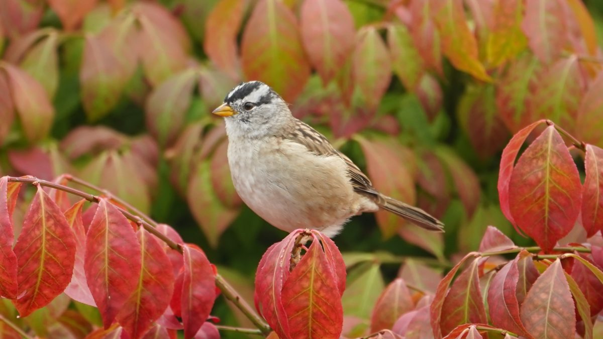 white-crowned sparrow in red bush