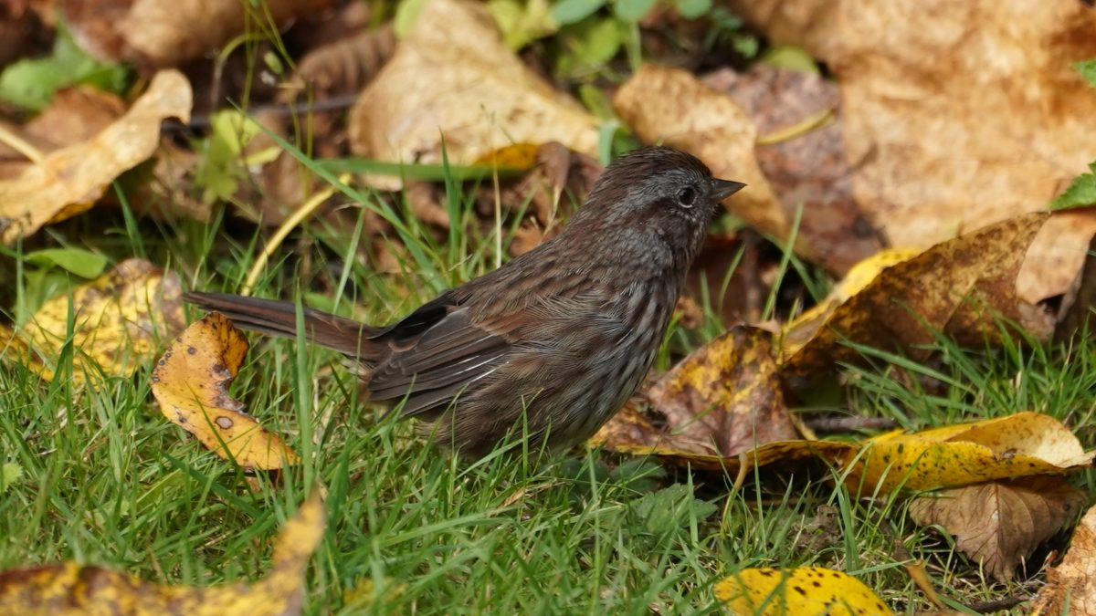 Song sparrow in fall leaves
