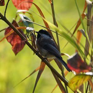 Chickadee in fall foloage