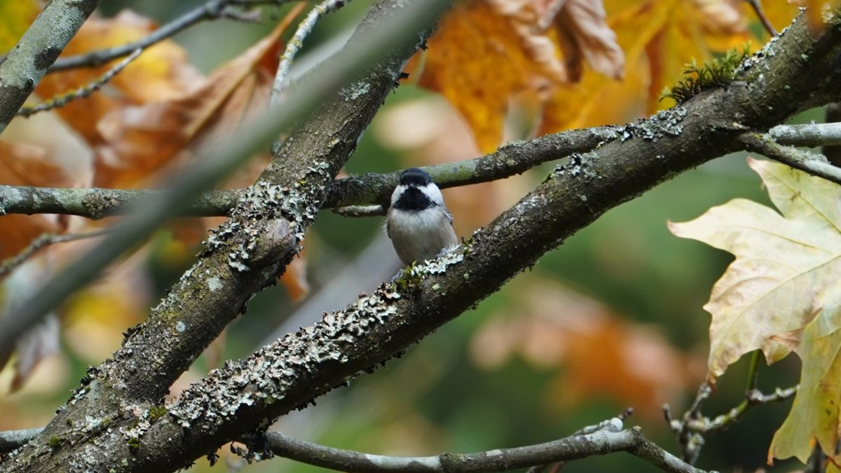 Chickadee in the fall