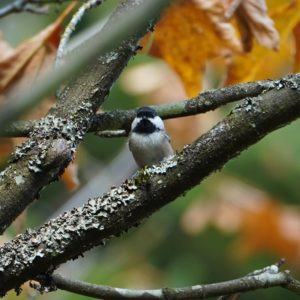 Chickadee in the fall