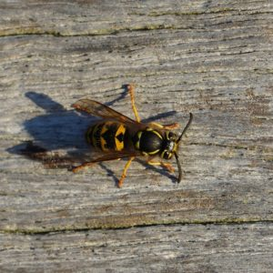 Wasp on bench