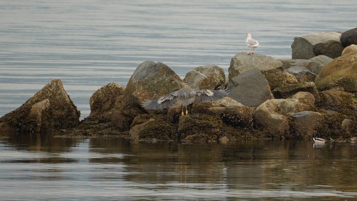 Heron landing on rocks