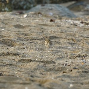 Savannah sparrow on the sand