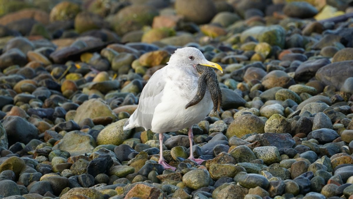 Seagull eating a starfish