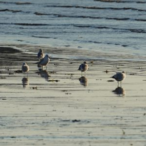 Seagulls foraging