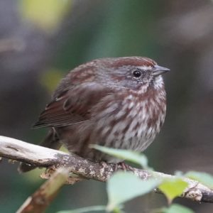 round song sparrow