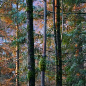 Trees in sunset light